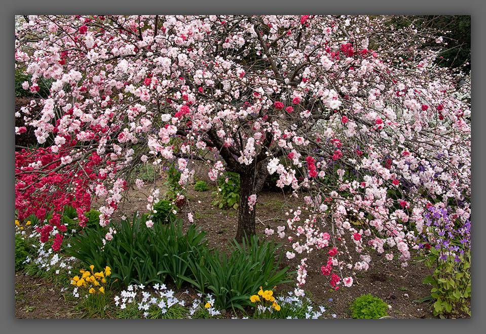 Cherry Blossoms ©zoomonby.com