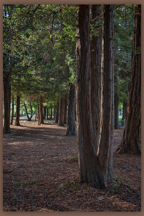 Redwood Trees in the Park ©zoomonby.com