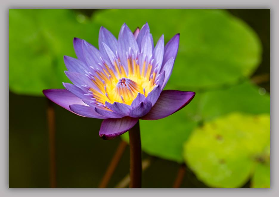 Lotus Blossom ©zoomonby.com